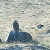 Distant shot of Ferruginous Hawk #1 - 12/29/2014 - Hwy 78 between Julian and Ramona