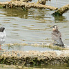 Forster's Terns, adult and immature - 7/27/2014 - Salton Sea