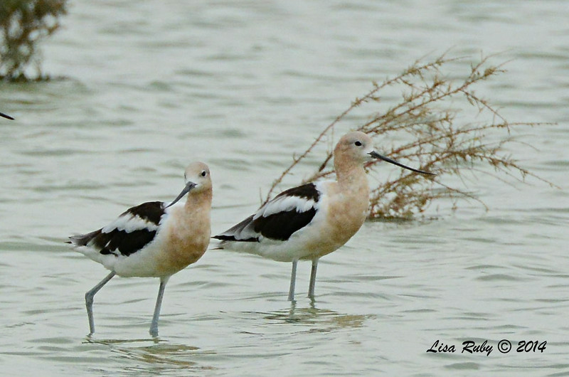 American Avocet  - 7/27/2014 - Lake Finney, Imperial Valley