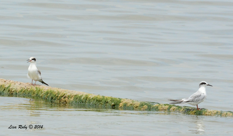 Forster's Terns - 7/27/2014 - Salton Sea
