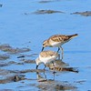Least and Western Sandpipers - 1/17/2015 - Salt Works, Chula Vista