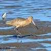 Marbled Godwit - 1/17/2015 - Salt Works, Chula Vista