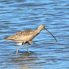 Long-billed Curlew with something flying by - 1/17/2015 - Salt Works, Chula Vista