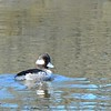 Female Bufflehead - 1/17/2015 - Salt Works, Chula Vista