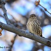 Pine Siskin - 3/7/2015 - Julian, Birdwatcher