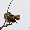 Nice view of Red-tailed Hawk tail - 3/2/14 - Birding 100 San Diego Bird Festival