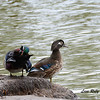 Wood Duck Pair- 3/2/14 - Birding 100 San Diego Bird Festival