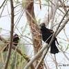 Red-winged Blackbird - 3/2/14 - Birding 100 San Diego Bird Festival