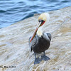 Brown Pelican - 12/1/13 - La Jolla Cove