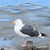 Adult Western Gull - 12/1/13 - La Jolla Cove