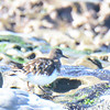 Very fuzzy Black Turnstone - 12/1/13 - La Jolla Cove
