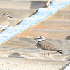 Killdeer - 1/18/2014 - Salt Works