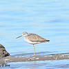 Greater Yellowlegs - 1/18/2014 - Salt Works