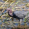 Little Blue Heron, gotcha!