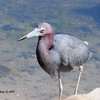 Little Blue Heron. This was my best shot of the day.
