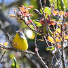 Nashville Warbler - 4/13/2014 - Pine Hills, Peter and Millie's