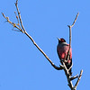 Lewis' Woodpecker  - 4/14/2014 - Santa Ysabel Preserve, East Entrance