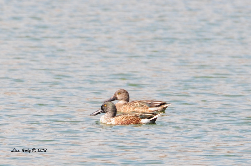 Pair of Northern Shovelers - 10/12/13 - Whelan Lake