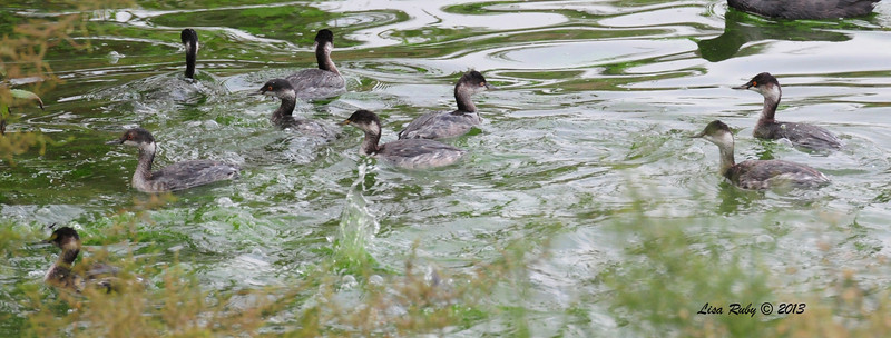 Eared Grebes - 10/12/13  - Whelan Lake