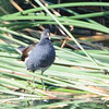Common Gallinule - 10/12/13 - Whelan Lake