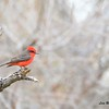 Vermillion Flycatcher - 4/19/2014 - San Pedro Riparian Conservation Area, Sierra V