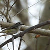 Guessing Plumbeous Vireo - 4/19/2014 - San Pedro Riparian National Conservation Area, Sierra Vista, Az