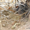 Unknown Sparrow   - 4/19/2014 - San Pedro Riparian Conservation Area, Sierra Vista, Az