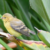 Fledgling Lesser Goldfinch - 7/18/2014 - Backyard Sabre Springs