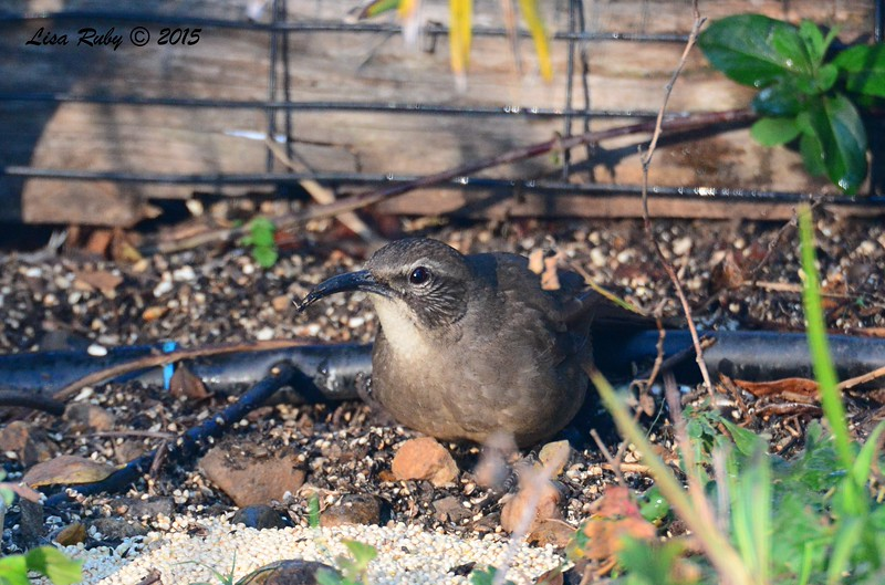 California Thrasher - 1/24/2015 - Backyard, Sabre Springs