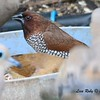Scaly-breasted Munia - 1/29/2015 - Backyard Sabre Springs