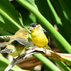 Dad and Fledgling Lesser Goldfinch - 7/18/2014 - Backyard Sabre Springs