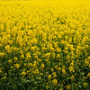 Field of Rapeseed in Bloom