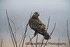 Rough-legged Hawk Dec 10 2013_DSC7327