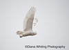 Snowy Owl Dec 8 2013_DSC0891 copy