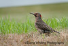 Northern Flicker_DEW8596 copy
