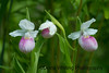 Showy Lady Slippers_DSC9831