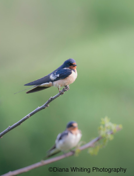 barn Swallow_DSC7646 copy