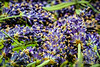 A close-up of cut English Lavender