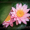 Shy Water Lily