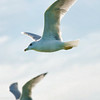 Seagulls In Flight 017 | Wall Art Resource