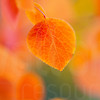 Aspen Leaves In Autumn 045 | Wall Art Resource