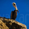 Pelican 001 | Wall Art Resource