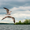 Seagulls In Flight 015 | Wall Art Resource