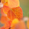Aspen Leaves In Autumn 052 | Wall Art Resource