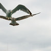 Seagulls In Flight 014 | Wall Art Resource