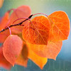 Aspen Leaves In Autumn 046 | Wall Art Resource