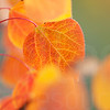 Aspen Leaves In Autumn 051 | Wall Art Resource