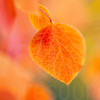 Aspen Leaves In Autumn 044 | Wall Art Resource