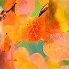 Aspen Leaves In Autumn 050 | Wall Art Resource