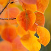Aspen Leaves In Autumn 048 | Wall Art Resource